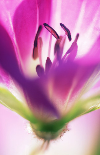 Geranium, Cranesbill by Michael Peuckert