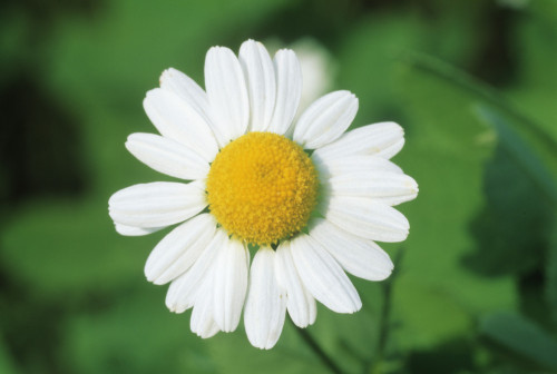 Chamaemelum nobile, Chamomile by Michael Peuckert