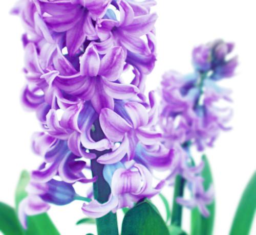 Hyacinthus, Hyacinth by Nic Miller