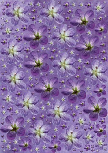 Geranium psilostemon, Cranesbill by Paul Debois
