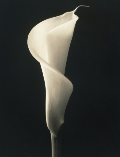Zantedeschia Arum lily Calla lily by Richard Freestone