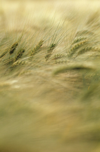 Hordeum, Barley by Richard Freestone