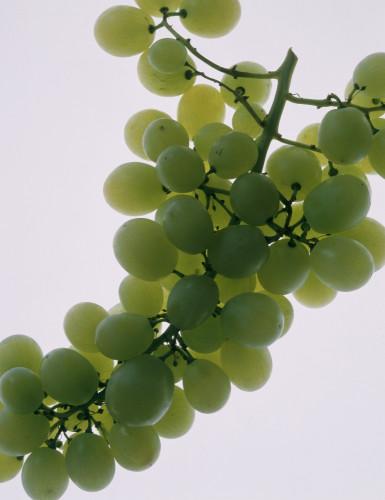 Vitis vinifera, Grape by Richard Freestone