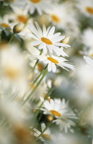 Bellis, Daisy by Rob Matheson
