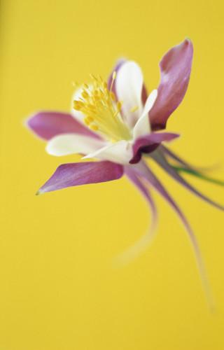Aquilegia McKana hybrids, Columbine by Rob Matheson