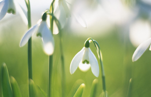 Galanthus nivalis, Snowdrop by Rob Matheson