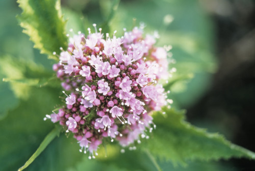 Valerian officinalis, Valerian - Common valerian by Steve Shipman