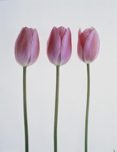 Tulipa, Tulip by Tim Smith