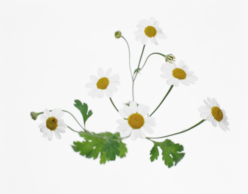 Tanacetum parthenium, Feverfew by Tim Smith