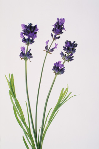 Lavandula augustifolia, Lavender by Tim Smith