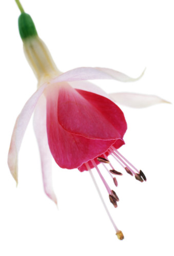 Fuchsia, Fuchsia by Tim Smith