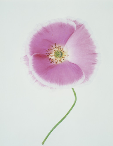 Papaver rhoeas Shirley series, Poppy - Shirley poppy by Tim Smith
