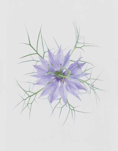 Nigella damascena, Love-in-a-mist by Tim Smith