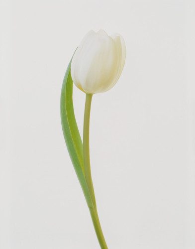 Tulipa, Tulip by Tim Smith
