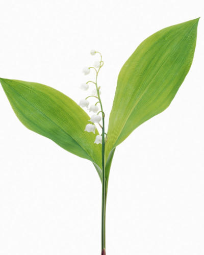 Convallaria majalis, Lily-of-the-valley by Tim Smith