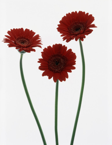 Gerbera, Gerbera by Tim Smith