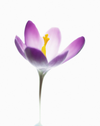 Crocus vernus, Crocus by Tim Smith