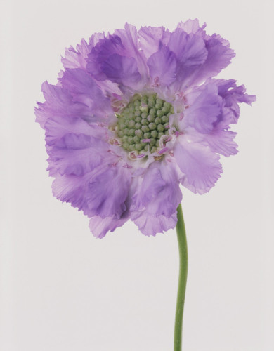 Scabiosa caucasia 'Clive Greaves', Scabious by Tim Smith