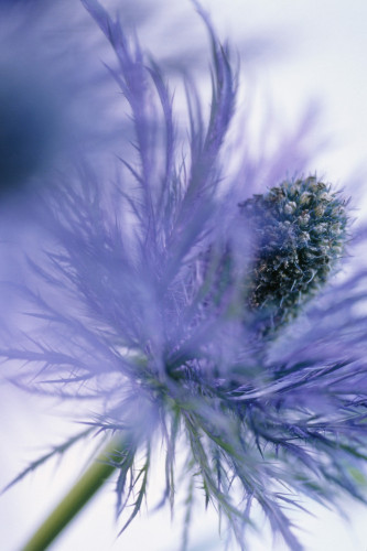 Eryngium alpinum, Sea holly by Victoria Gomez