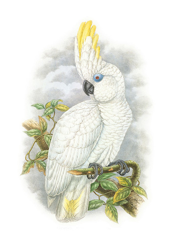 Cacatua Ophthalmica II by William Hart