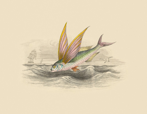 Flying Fish II by Anonymous