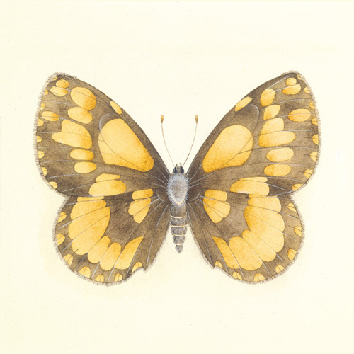 Butterfly VI by Sophie Golaz
