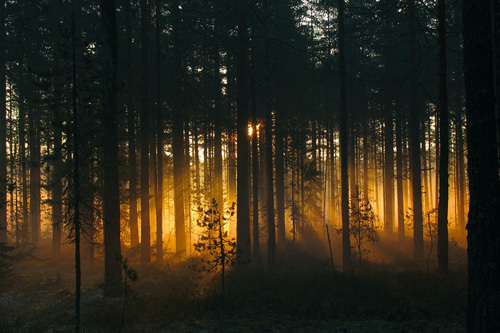 Forest - Early Light by Andreas Stridsberg