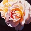 White Rose by Jennifer Harmes