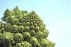Romansco broccoli by Rosseforp