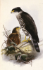 Accipiter Collaris, Illustration From The Ibis, A Magazine Of General Ornithology. by Christie's Images