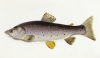A Trout. From 'The Fresh-Water Fishes Of Great Britain', First Edition by Sarah Bowdich
