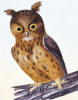 Drawing Of An Owl, The Birds Of Great Britain by William Lewin