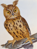 An Owl from 'Birds Of Great Britain' by William Lewin