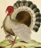 A Turkey from 'Histoire Nouvelles Des Oiseaux', 1771 by George Louis Leclerc Buffon