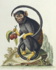 A Little Black Monkey Brought From The West Indies, 1743 by George Edwards