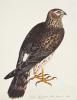 Falco Pygargus, Hen-Harrier by Christopher Atkinson
