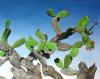 Nopal Tree by James Knowles