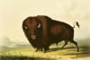 A Bison c.1832 by George Catlin