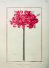 Amaryllis Sarniensis by Nicolas Robert