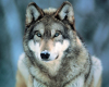 Grey Wolf (small) by Mini