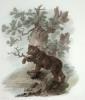 Brown Bear (Restrike Etching) by Julias Caesar Ibbetson