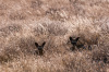 Bat-eared fox (Otocyon megalotis), Deception Valley, Central Kalahari Game Reserve, Botswana by Sergio Pitamitz