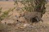 Cheetah (Acinonyx jubatus), Masai Mara, Kenya by Sergio Pitamitz
