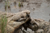 Nile Crocodile (Crocodilus niloticus), Masai Mara, Kenya by Sergio Pitamitz