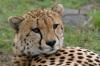 Cheetah (Acinonyx jubatus), Masai Mara National Reserve, Kenya by Sergio Pitamitz