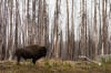 Bison, Yellowstone National Park, Wyoming, USA by Sergio Pitamitz