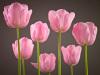 Tulips by Assaf Frank