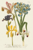 Iris Resplendant II by Joseph Weinmann