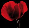 Rich Red Poppy by Ian Winstanley