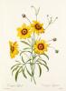 Corcopsis élégant : Corcopsis eleganus by Pierre Joseph Celestin Redouté